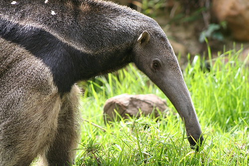 anteater | Tacky Harper's Cryptic Clues