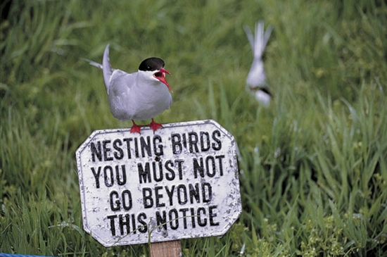 A tern sits on a sign that reads: Nesting birds, you must not go beyond this notice.