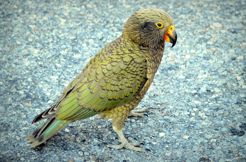 kea parrot | Tacky Harper's Cryptic Clues